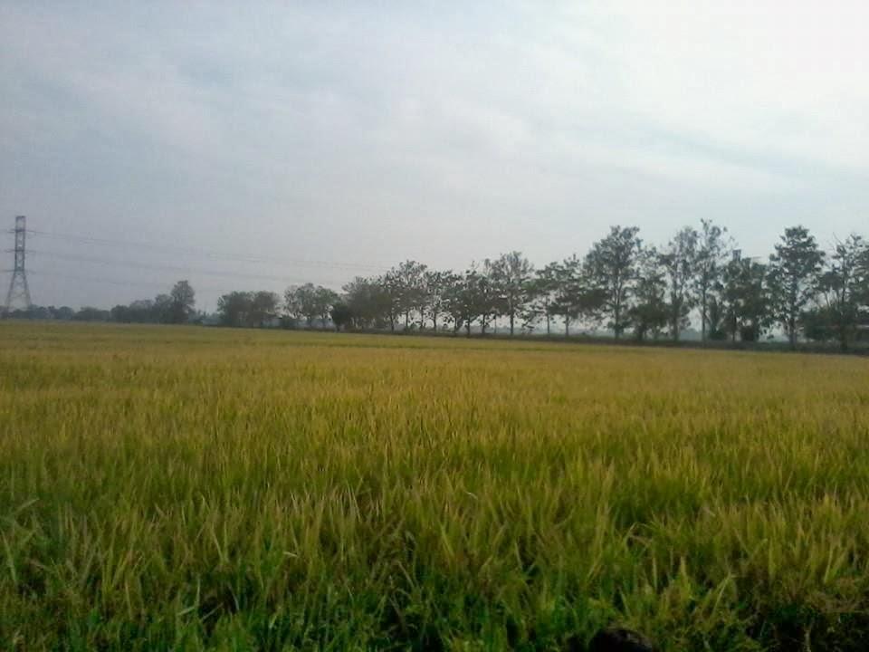 Suhu Perlis Jan 2014, padi masak kuning 2014, kg sg baru utan aji,
