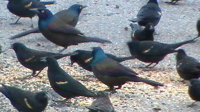 black birds with brown heads