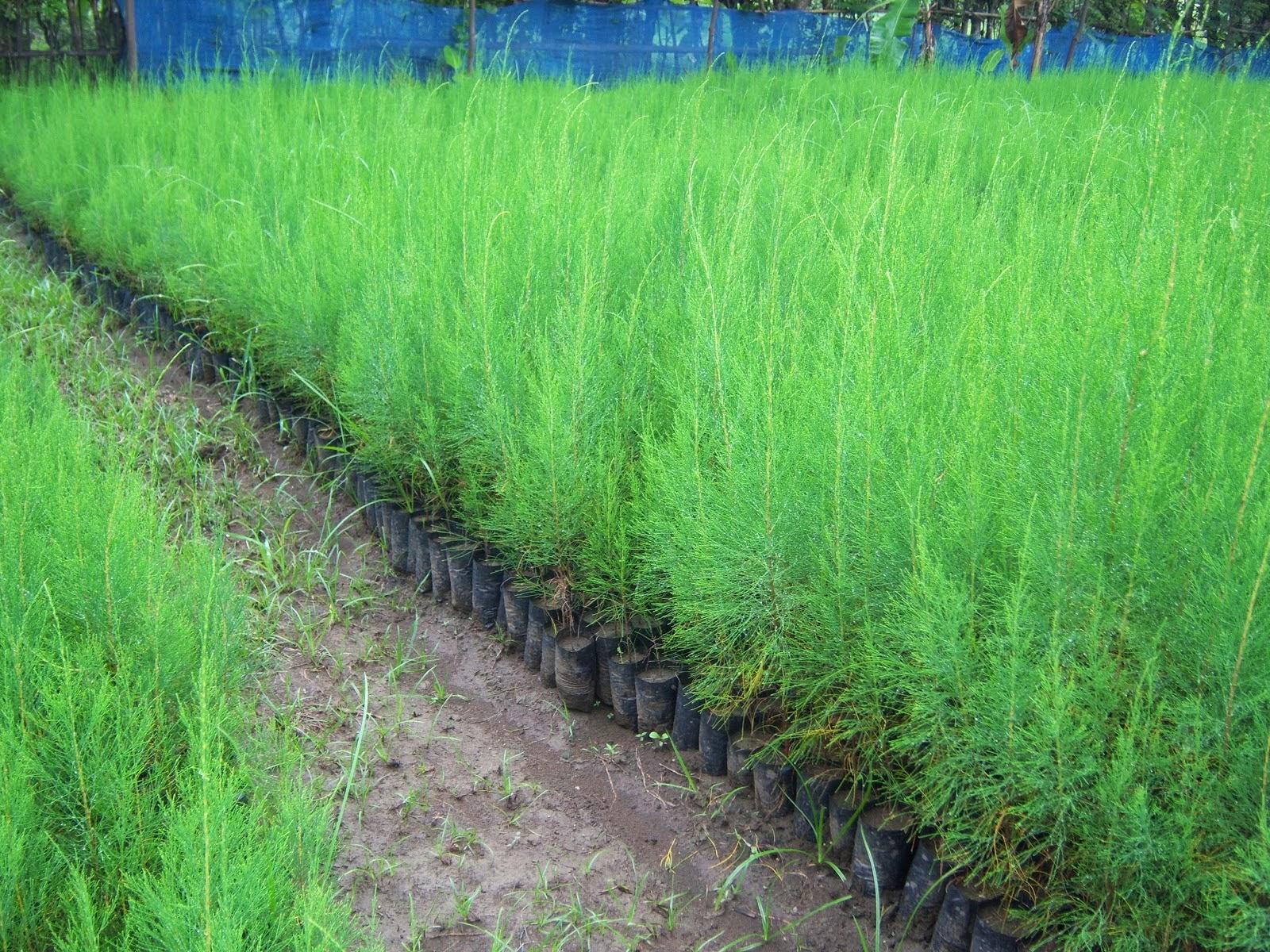 Jual pohon cemara angin | suplier tanaman | jasa desain taman