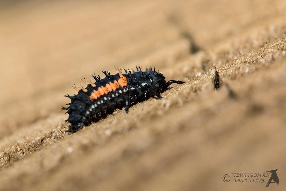 Harlequin Ladybird Larva