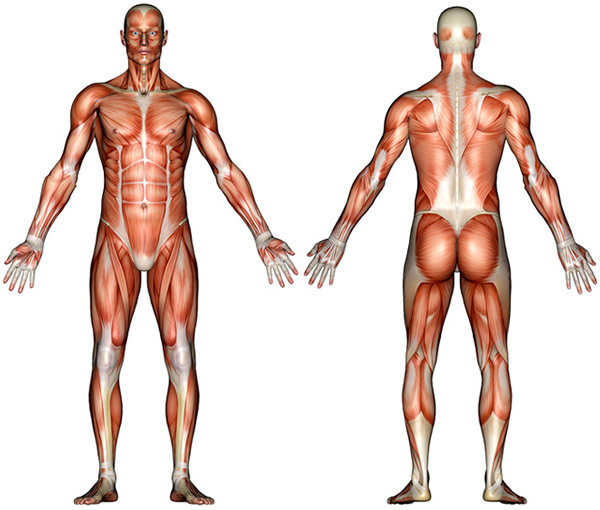 Human anatomy diagram pictureAnatomy Of Human Body Muscles