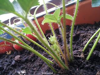 Les bébés fraisiers ont bien grandis et s'éttendent bien dans leur pot!