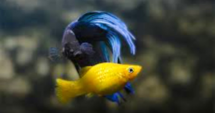 All about betta fish betta fish goes well with molly for All about betta fish