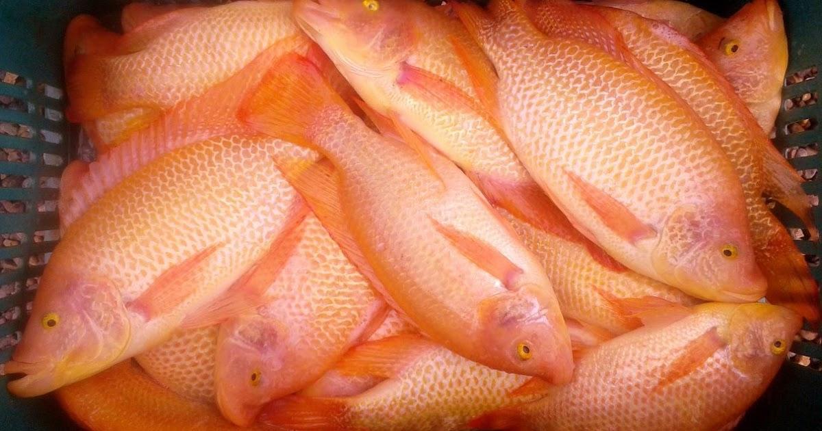 Cria peixe tilapicultura consumo de pescado sa de e for Criadero de pescado tilapia