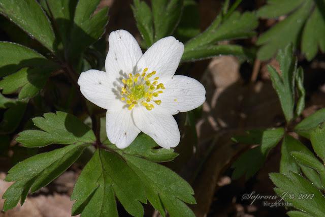 Berki szellőrózsa (Anemone nemorosa)