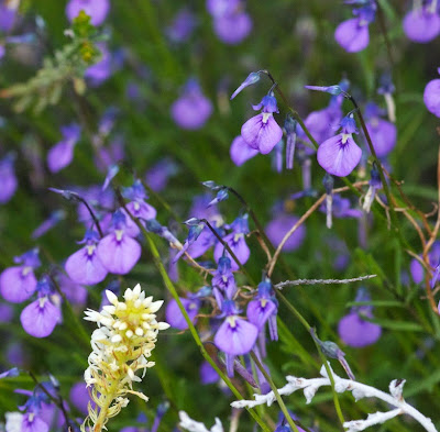 Wild Violet (Hybanthus calycinus)