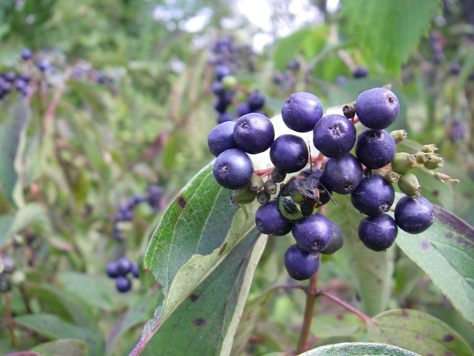 Wildlife Monitor Wild Berry Identification
