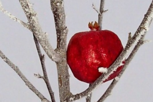 Pomegranate in Winter