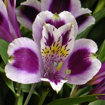 Alstroemeria2885 A Flower Of Friendship Quot Alstroemeria Quot