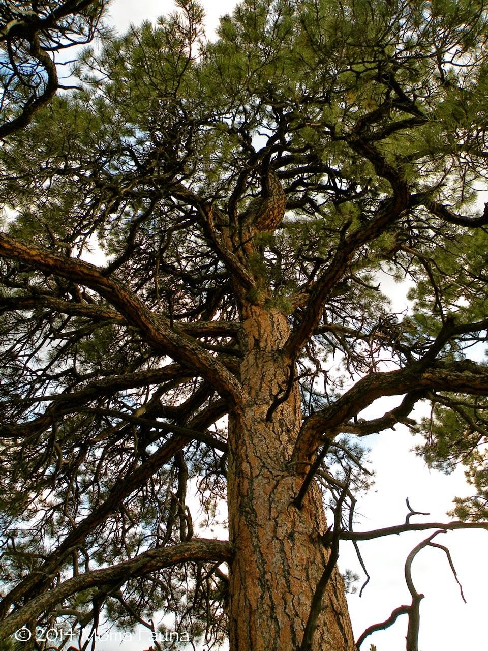 Ponderosa Pine (Pinus ponderosa).