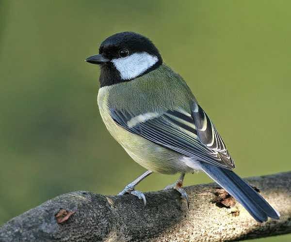 Foto Burung Gelatik Tips Cara Merawat dan Update Harga Terbaru