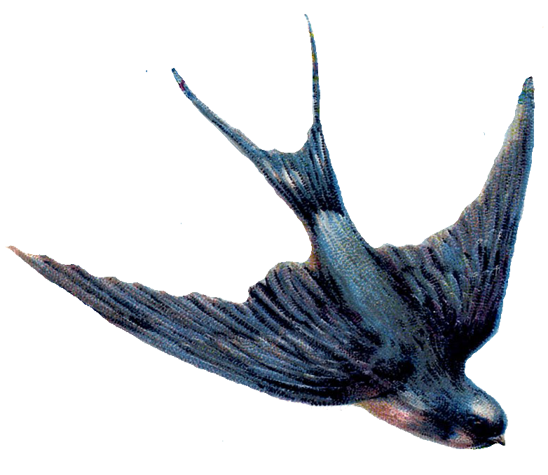 Swallow-PNG.png...