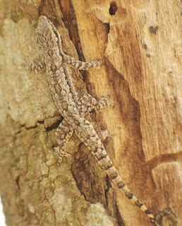 Asian Flat-tailed House Gecko (Hemidactylus platyurus)