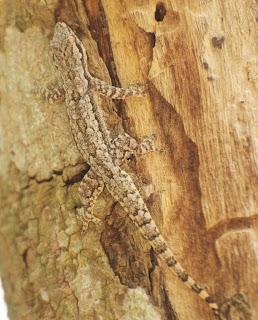 Asian Flat-tailed House Gecko (Hemidactylus platyurus)