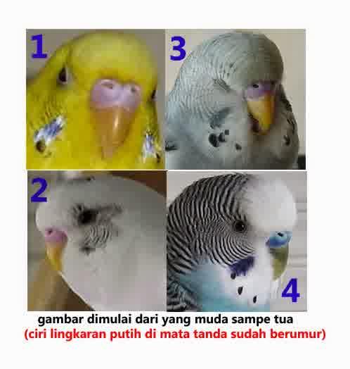 Cara Membedakan Jenis Kelamin Burung Parkit