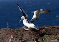 Little Albatross Chick Attempting Flight on Espanola, Punta Suarez, Galapagos