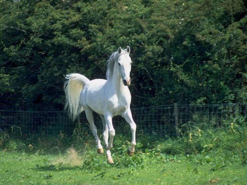 White arabian horse - photo#12
