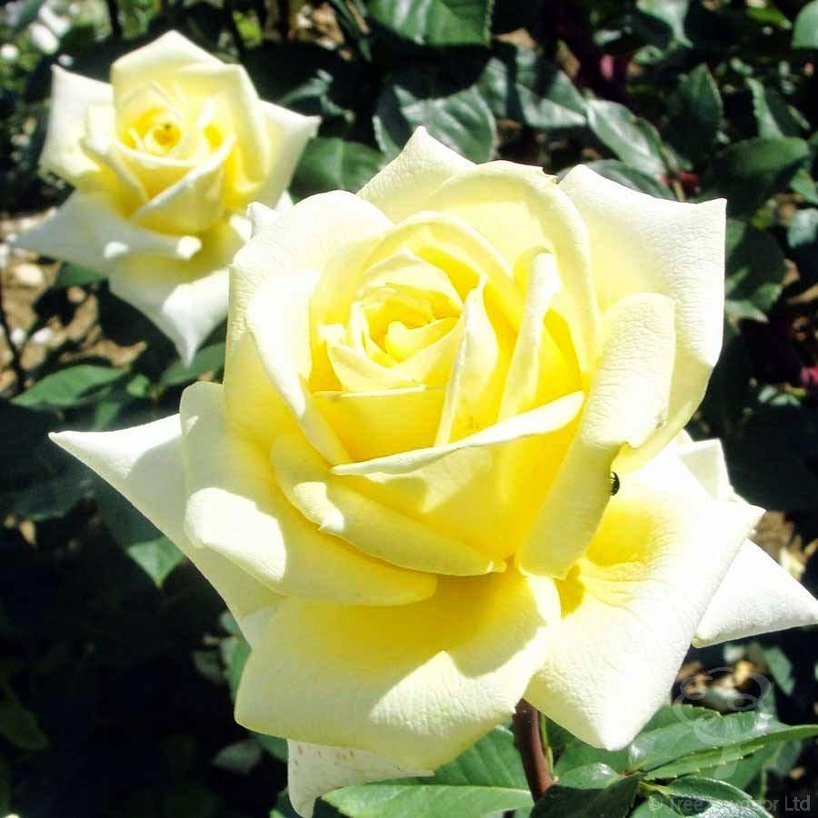 Uma Rosa Amarelo Ouro!!!