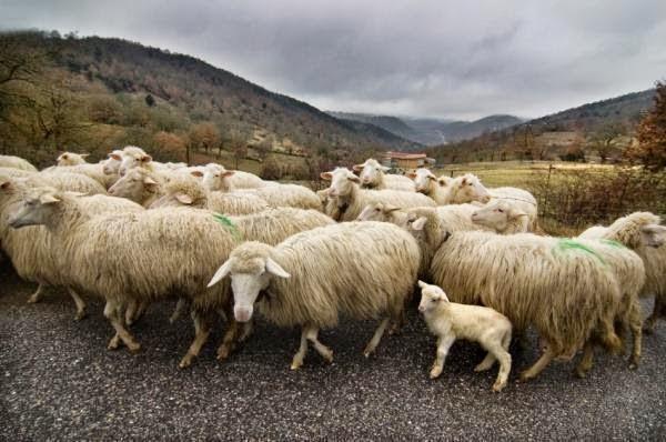 cerita lucu menghitung domba
