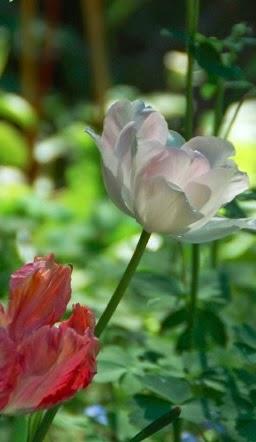 Frydefull tulipantid