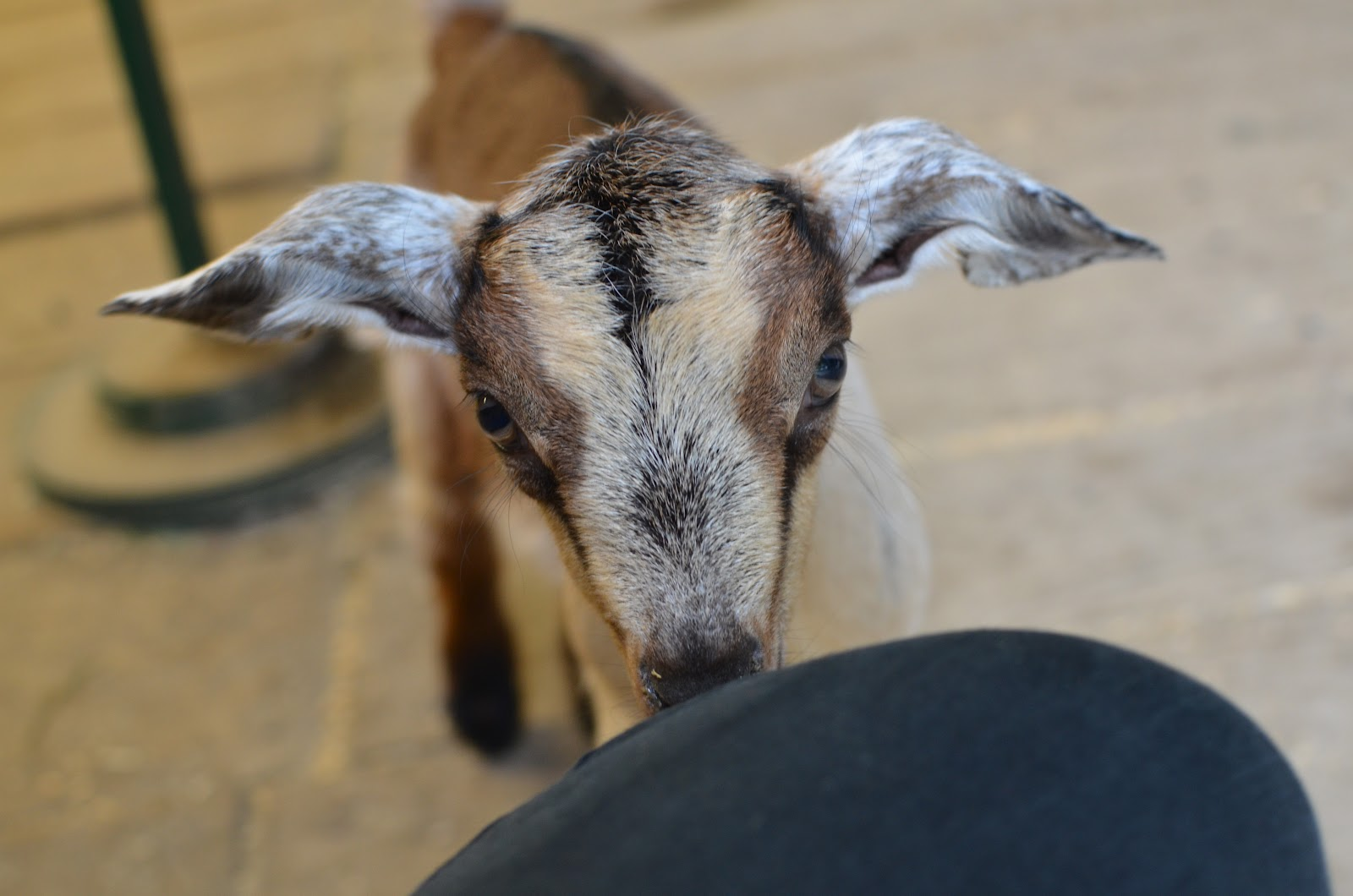 funny looking goat - photo #13