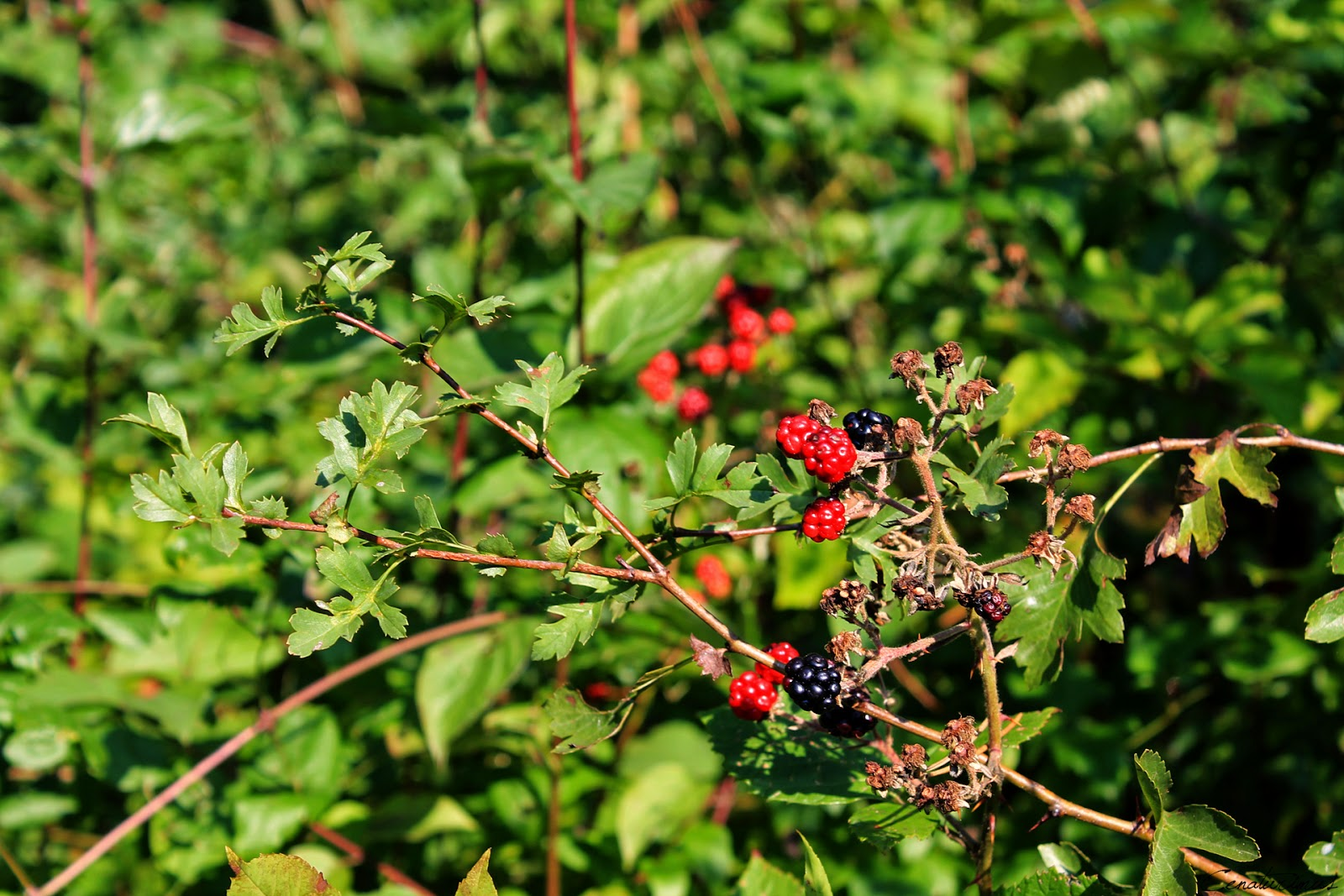 Ripe blackberries in Vienna Woods
