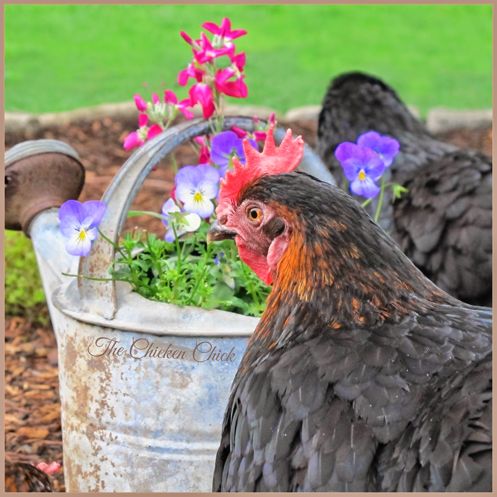 Black Copper Marans hen