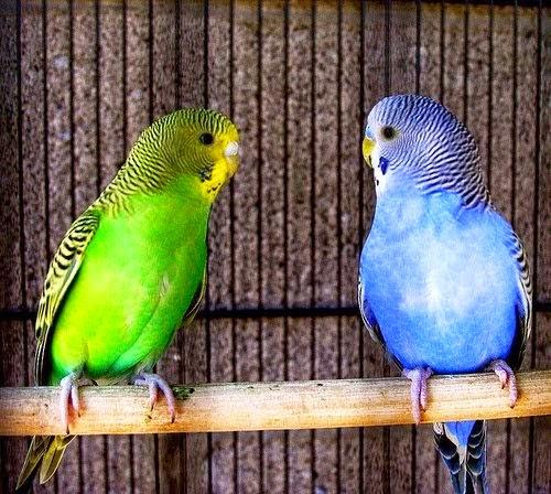 Macam-Macam Warna Burung Parkit