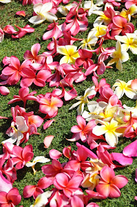 A path of Plumeria
