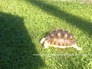 sulcata tortoise, geochelone sulcata, basking, unfiltered sunlight