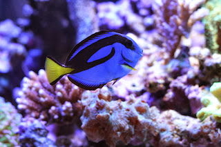 palette surgeonfish habitat