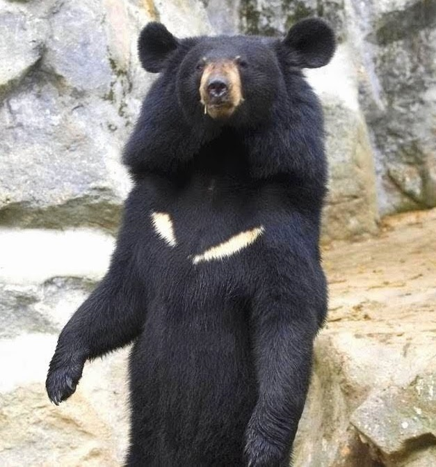 bear bile farming and eastern medicine Bear bile is a traditional chinese medicine that has been used for millennia  several arguments support and oppose the use of bear farming in.