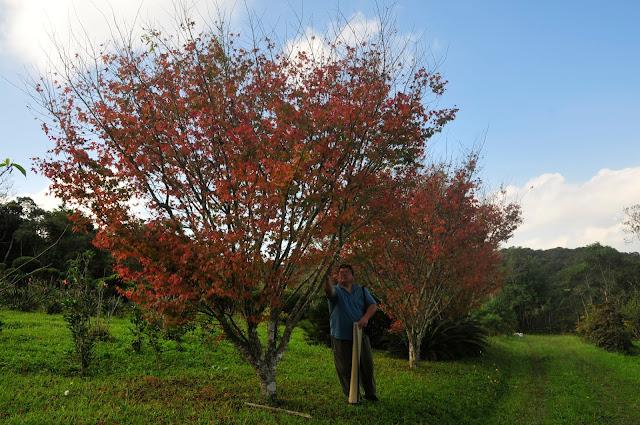 acer palmatum momiji