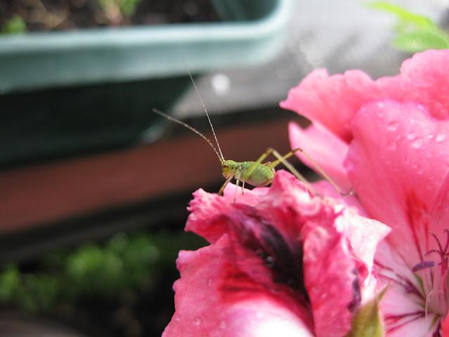 last years grasshopper tween