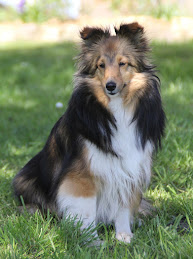 Såbys Shelties Summershine Simmy