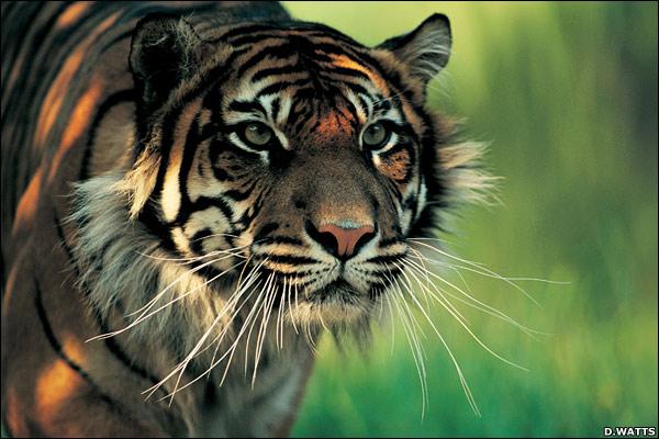 satu-satunya dari subspecies harimau yang masih tersisa di Indonesia