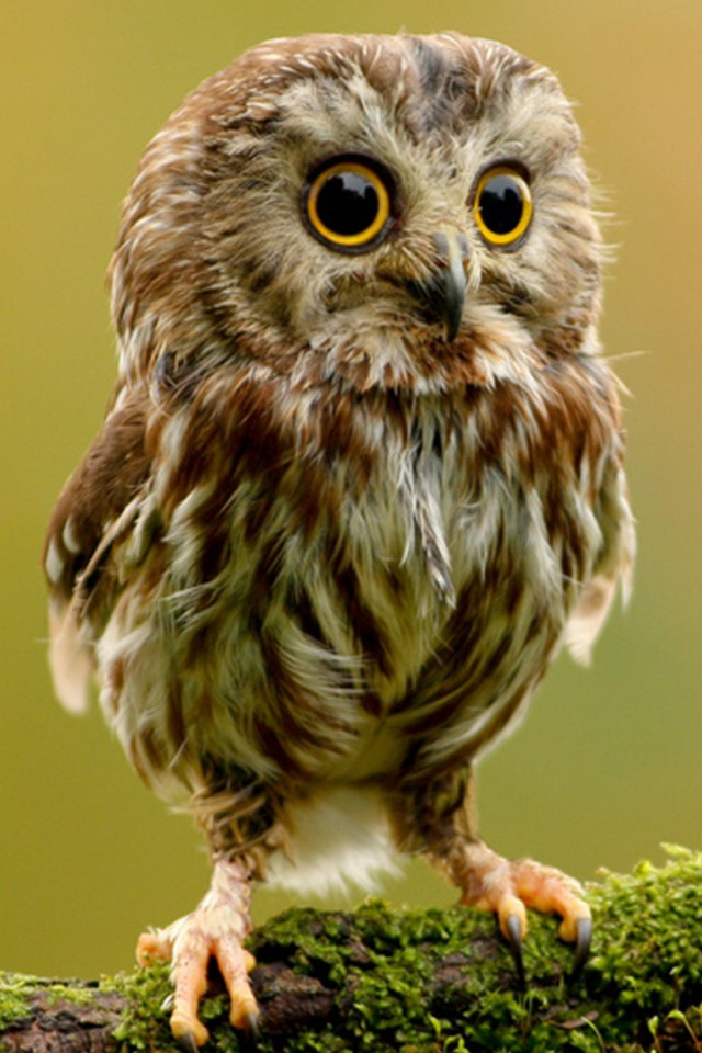 hd baby owls wallpapers for iphone 4Baby Owls Hd #4
