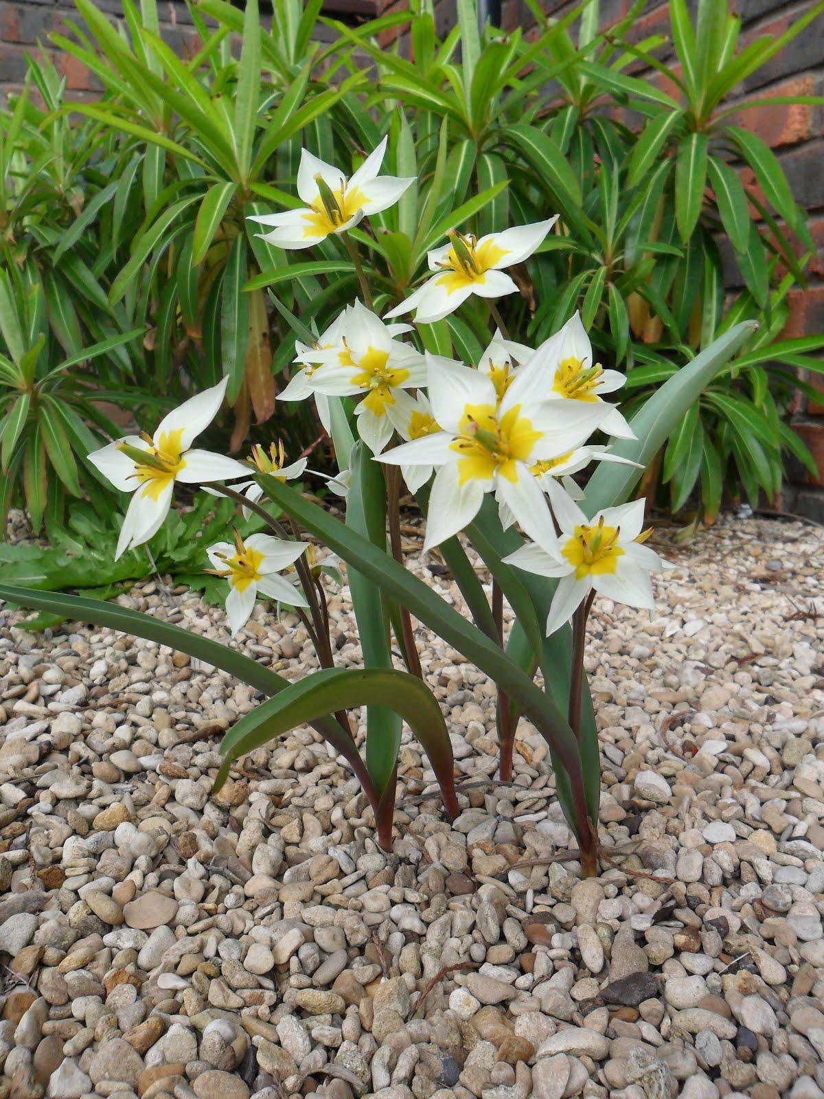 Worcester College Gardeners Tulipa Turkestanica