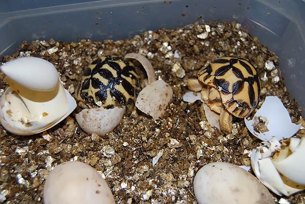 Tortugas estrelladas saliendo del huevo