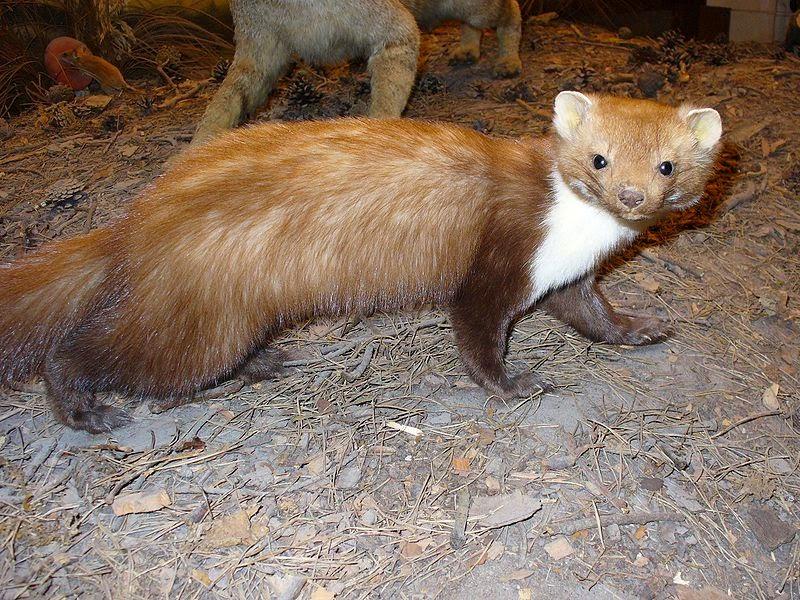 Características, alimentação, reprodução e distribuição da Fuinha ou Marta (Martes foina).