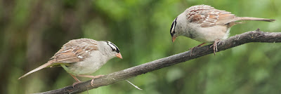 White-crowned Sparrows, Rocky Mountain National Park