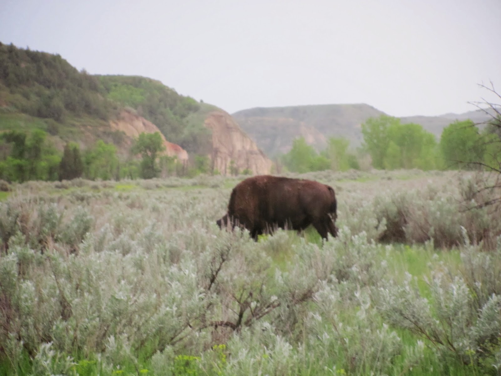 A bison near our camp at Theodore Roosevelt National Park, North Dakota