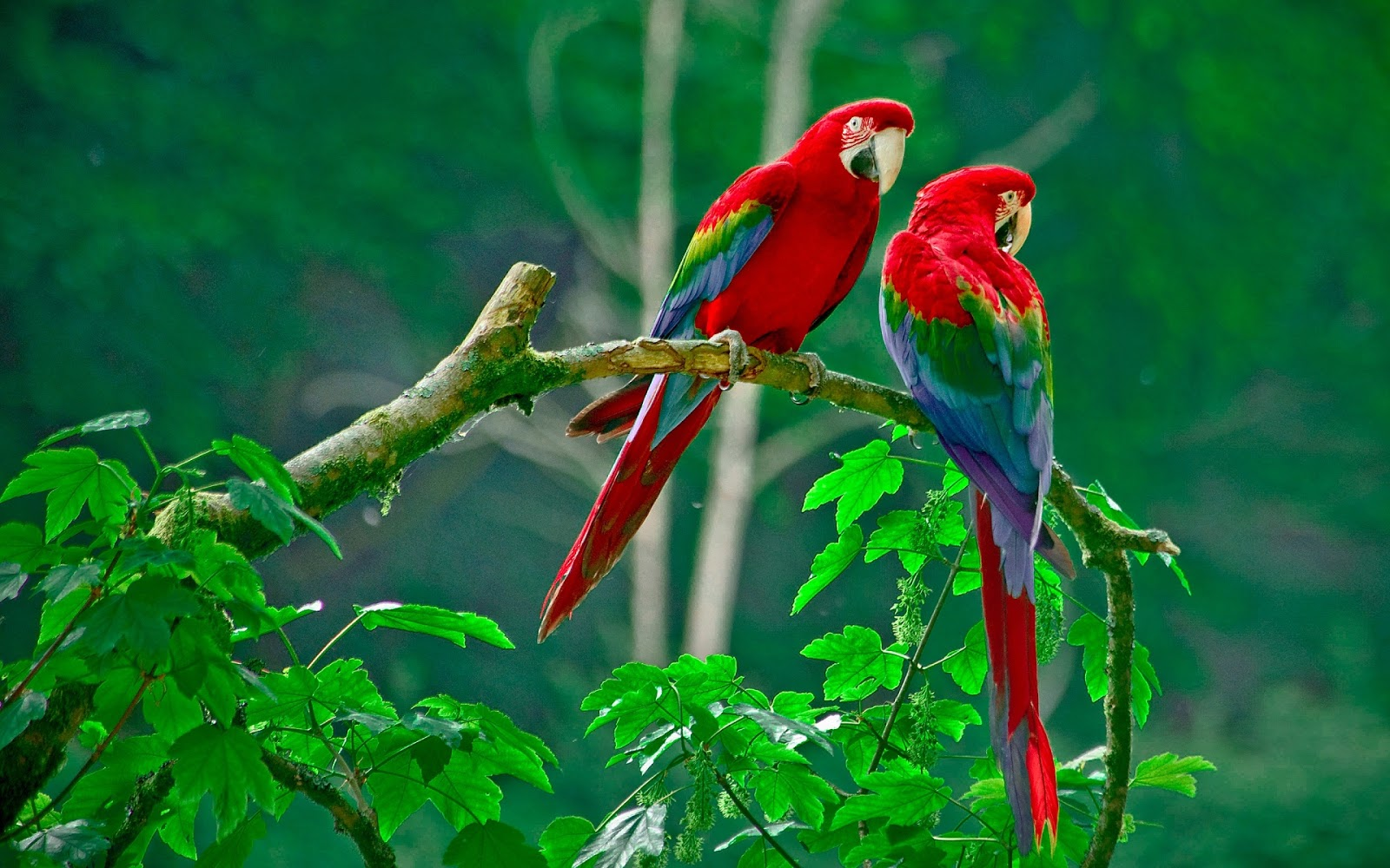 Love Birds Images Free Android Wallpaper HD
