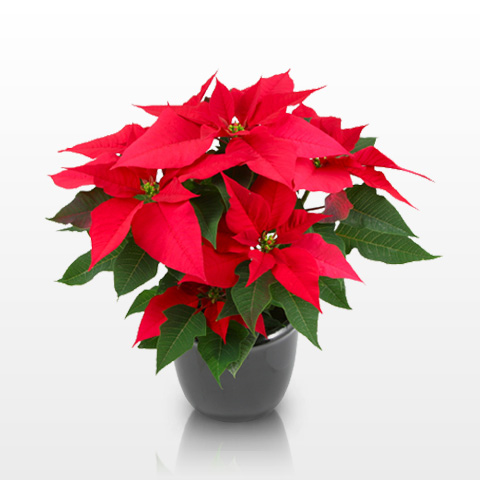 or red poinsettia - photo #38