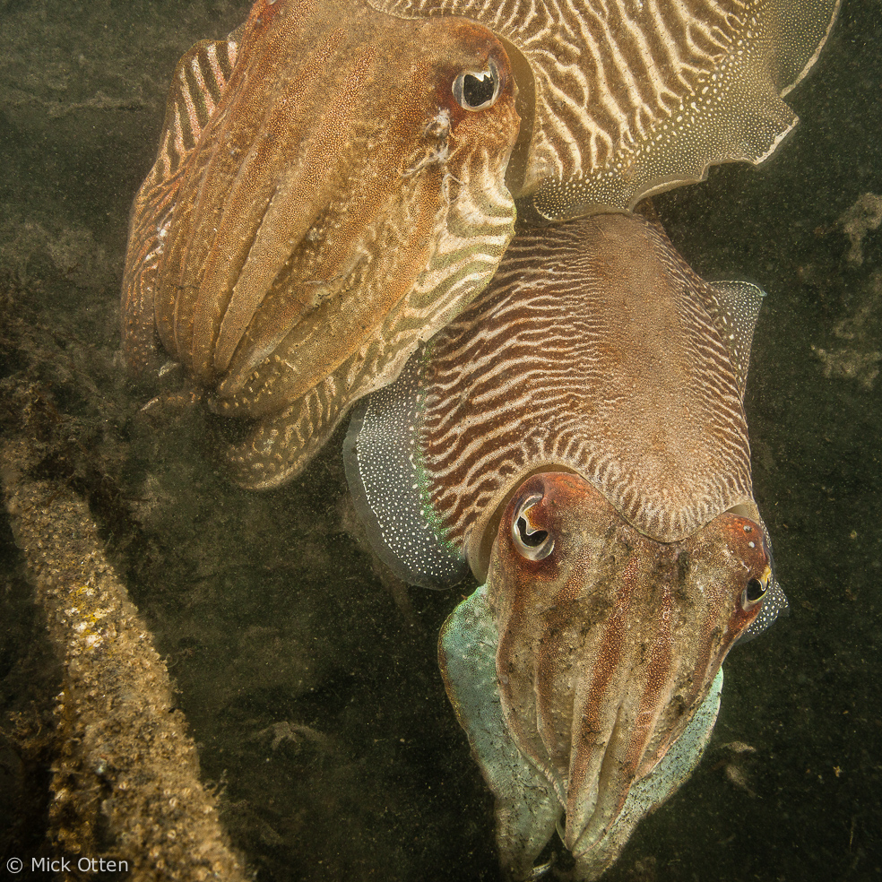 Mick's marine biology: Sepia frenzy: the common cuttlefish is back in town984 x 984 jpeg 917kB
