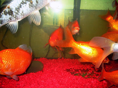 How to raise or lower ph levels in goldfish tanks and for How to raise ph in fish tank
