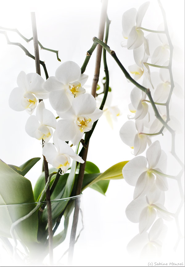 Psynopsis MyFavouriteThings White Orchid
