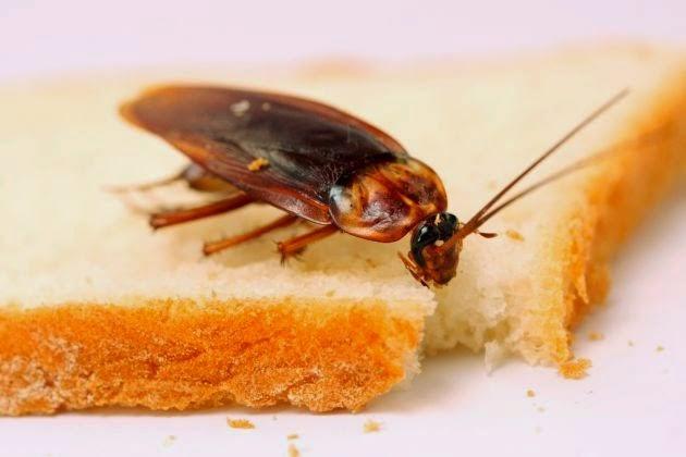 Los mejores remedios caseros para combatir cucarachas y - Remedios para eliminar cucarachas ...