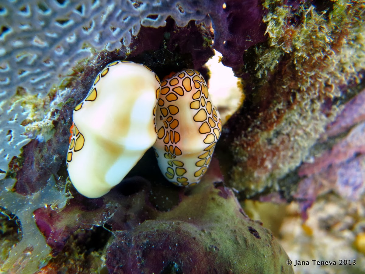 Flamingo tongue snails in les Saintes while diving