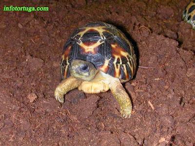 Cría de Astrochelys radiata